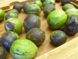 Hickory Nuts Dye – Part 2